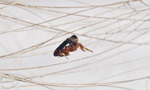 Pest Control Fleas